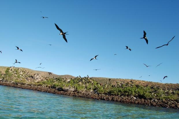 Frigate Bird Colony, Isla Espiritu Santo, La Paz, Baja Sur